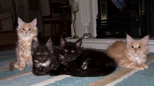 Kittens - Rydalmaine Maine Coon cats and kittens